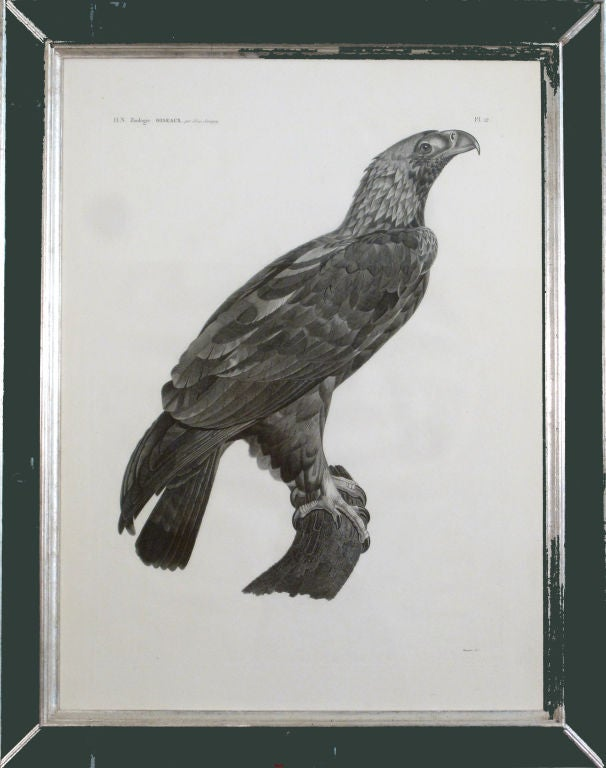 From the description de l'Egypte. J. Ces. Savigny, 1809-1813.  The stipple engraving depicts the Imperial Eagle. This is Aquila heliaca or the Easter Imperial Eagle. It is the species whose image is used on the coins of the Ptolemies. The bird
