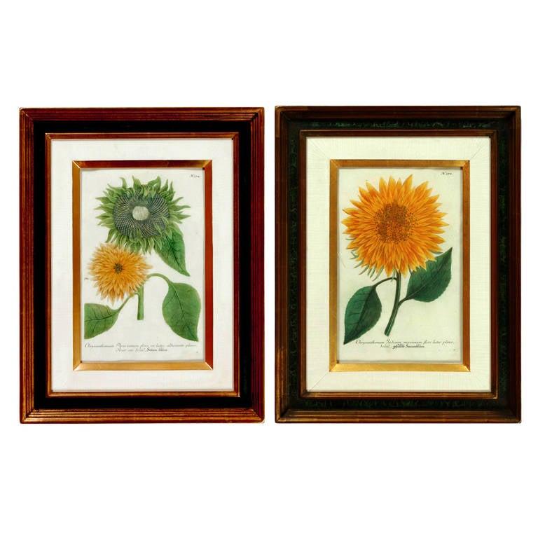 Johann Weinmann Engravings of Sunflowers, N. 372 & N. 374, Mid-18th Century.