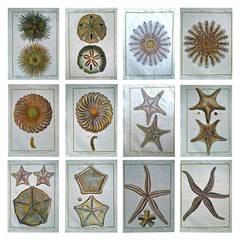 Set of Twelve 18th Century, Hand-Coloured Engravings of Sea Urchins