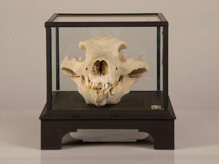 Boldly Mounted Bear Skull Holland Circa 1940 Original Label For Sale At 1stdibs