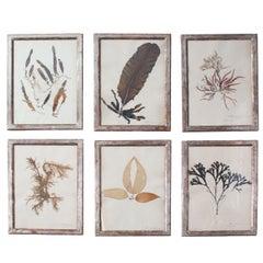 A Set of Six Rare Framed Dried Seaweed