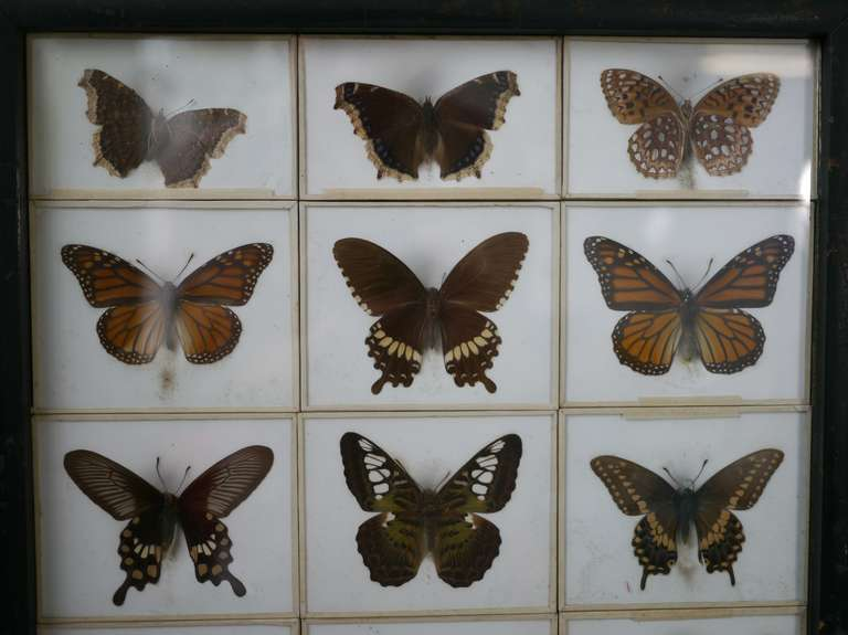 Unusual Victorian Taxidermy Butterfly Collection 5