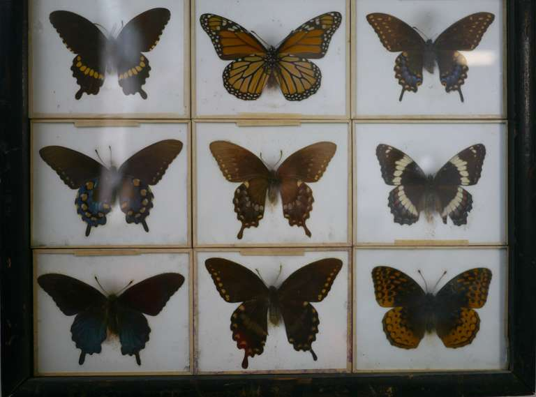 Unusual Victorian Taxidermy Butterfly Collection 4