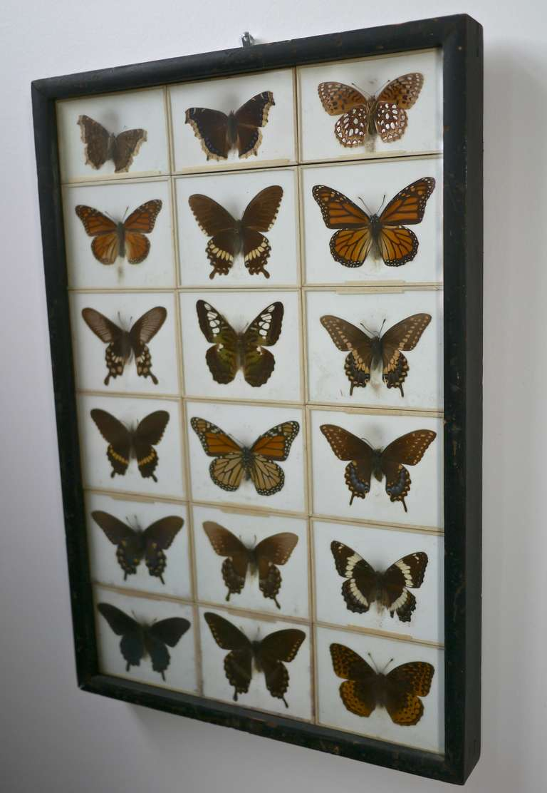 Unusual Victorian Taxidermy Butterfly Collection 3