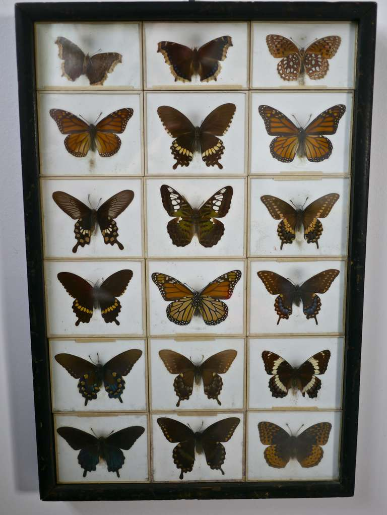 Unusual Victorian Taxidermy Butterfly Collection 2