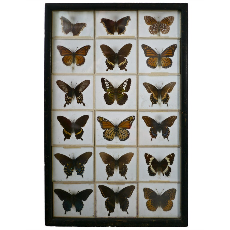 Unusual Victorian Taxidermy Butterfly Collection 1