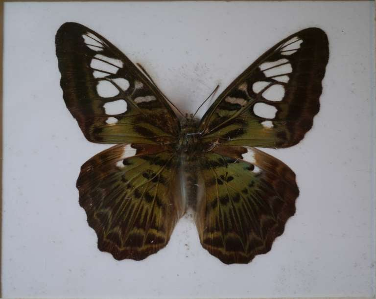 Unusual Victorian Taxidermy Butterfly Collection 6