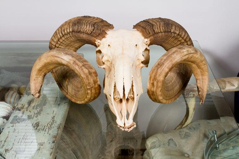 ram skull mask in L XL...
