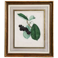 Print Of 'the Waterloo Cherry', Horticultural Transactions