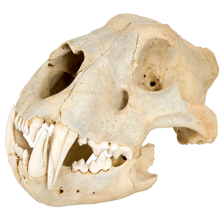 Vintage Lion Skull At 1stdibs