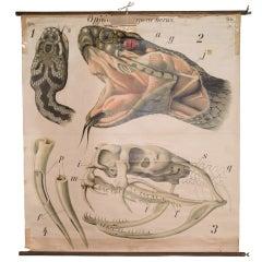 Anatomical Chart of Snake