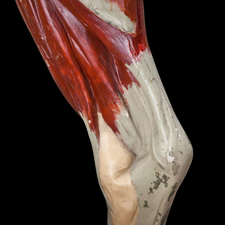 Anatomical Model of Cow Leg at 1stdibs