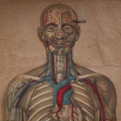 Layered Education Anatomical Chart