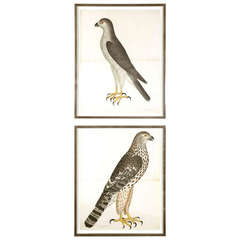 Set of Two Framed Engravings of Falcons