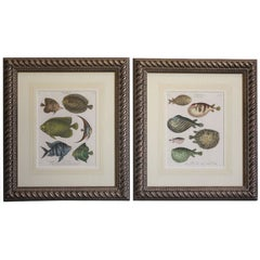 Framed Copperplate Engravings of Fish (Ichthyology)