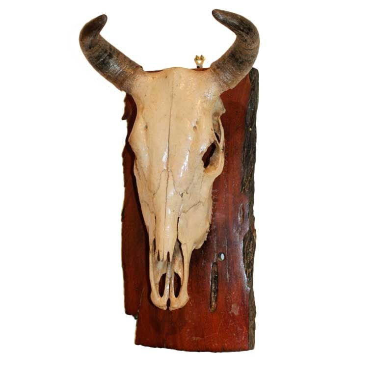 A Swedish Mounted Cow Scull