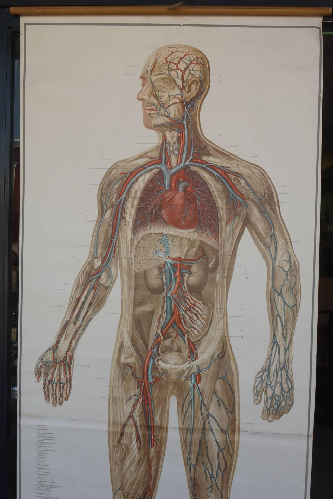 Vintage Lifesize German Anatomical Poster at 1stdibs