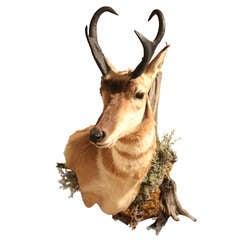 Shoulder Mounted Pronghorn