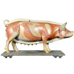 Life Size Anatomical Model of Pig, Germany