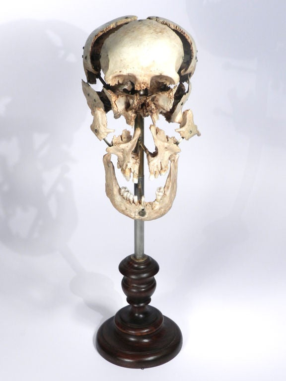 Real Beauchene Skull - Medical school teaching display. image 4
