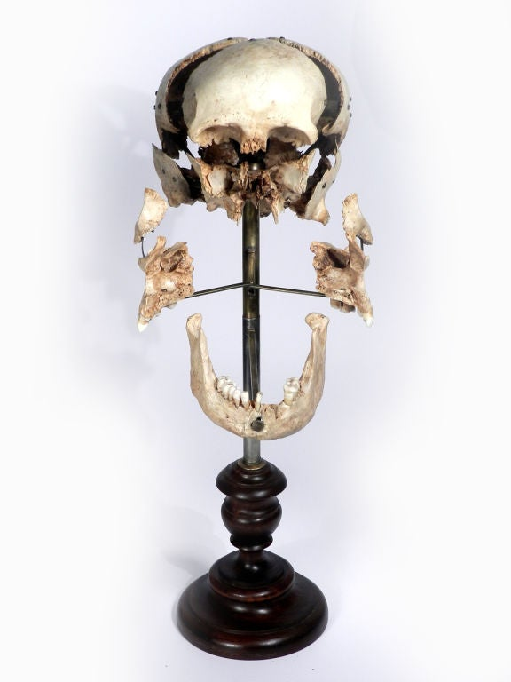Real Beauchene Skull - Medical school teaching display. image 6