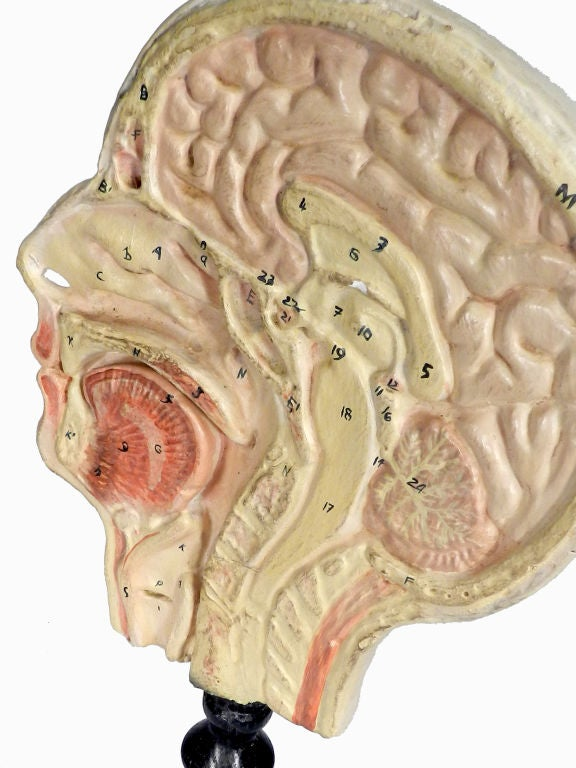 Hand Painted Half Head Anatomical Model At 1stdibs