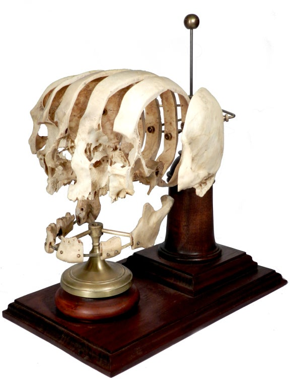 Rare Booked Skull (Sagittal Sectioned) Medical school teaching d image 2