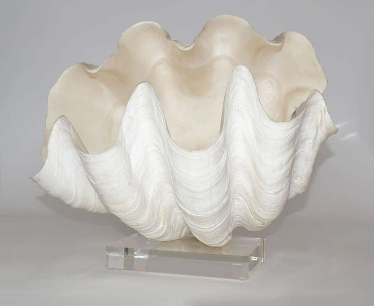 Giant Clam Shell Drawing