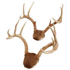 Pair of Mounted White-tailed Deer Antlers