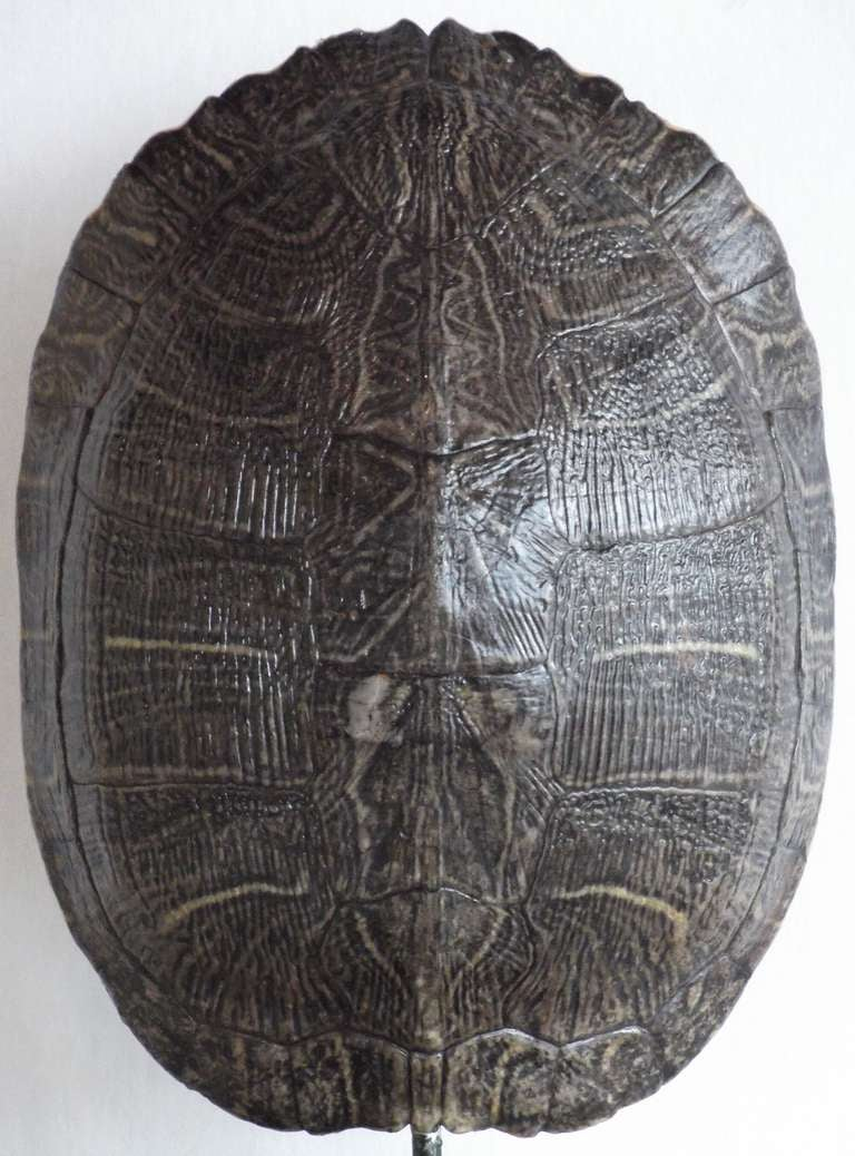 Turtle Shell At 1stdibs