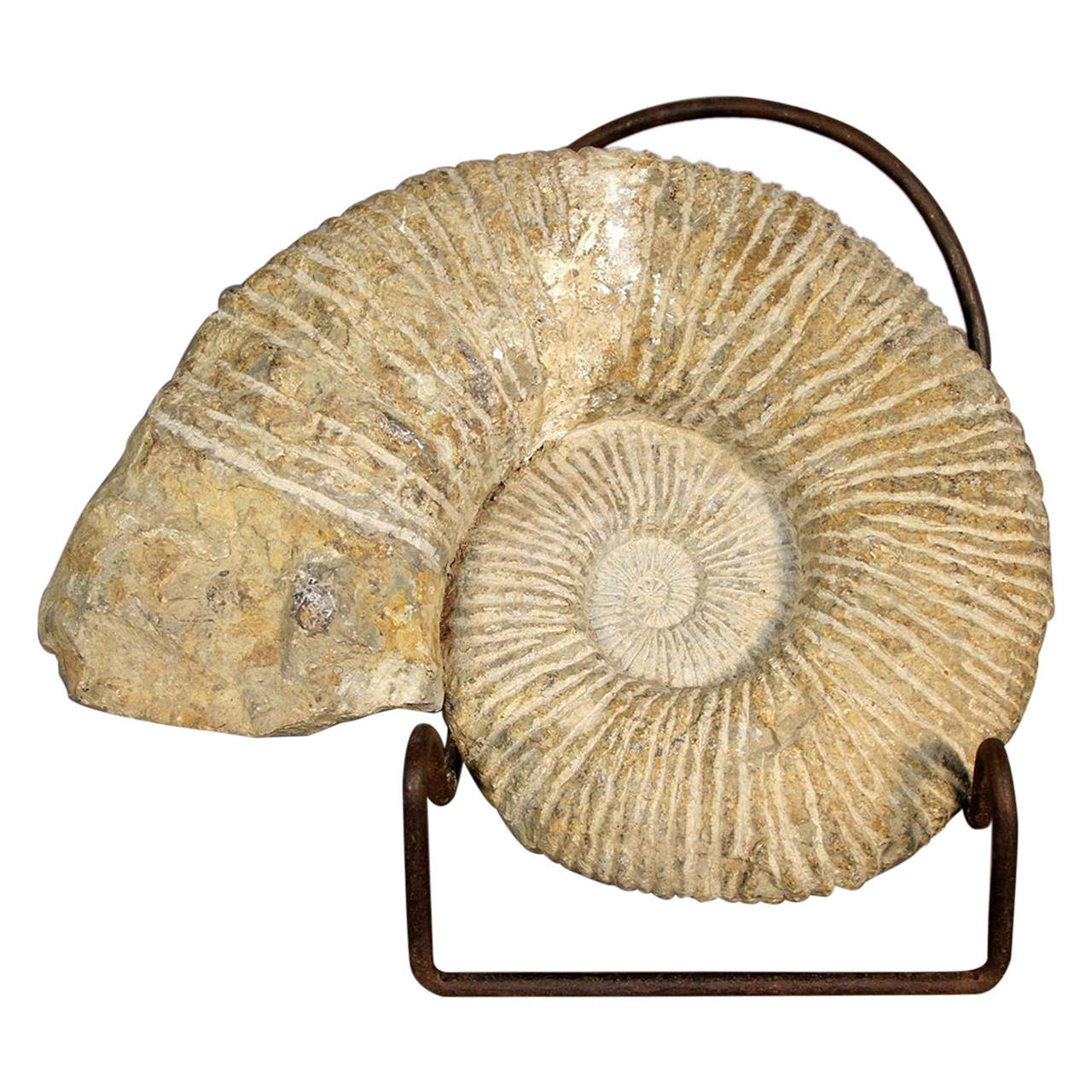 Ammonite Fossil on Stand For Sale