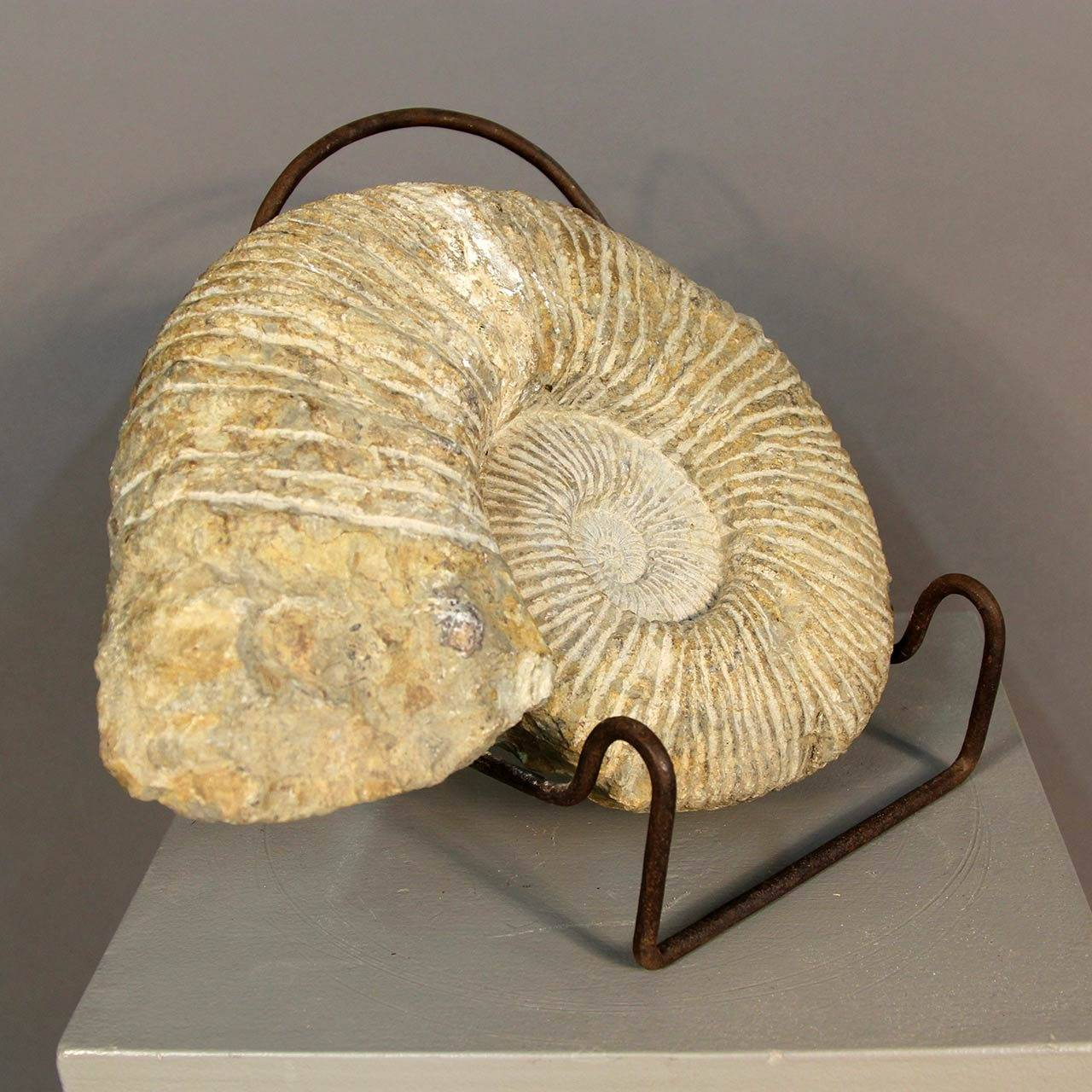 Ammonite Fossil on Stand In Good Condition For Sale In Norwalk, CT
