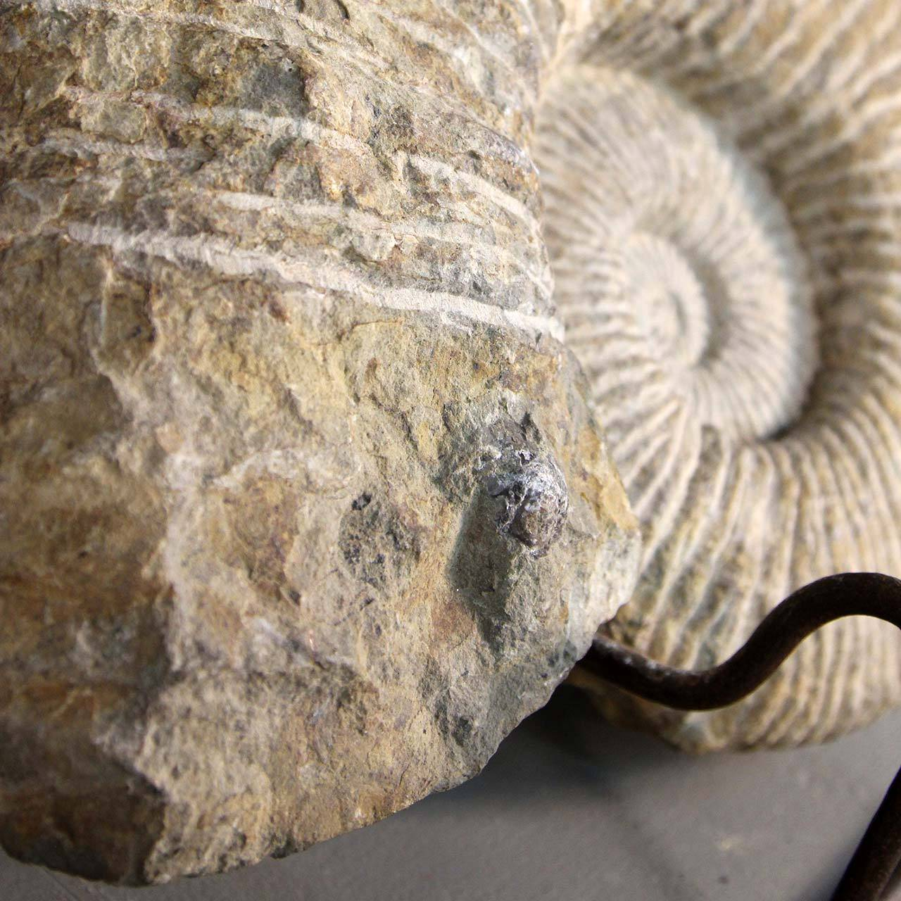 Ammonite Fossil on Stand 5