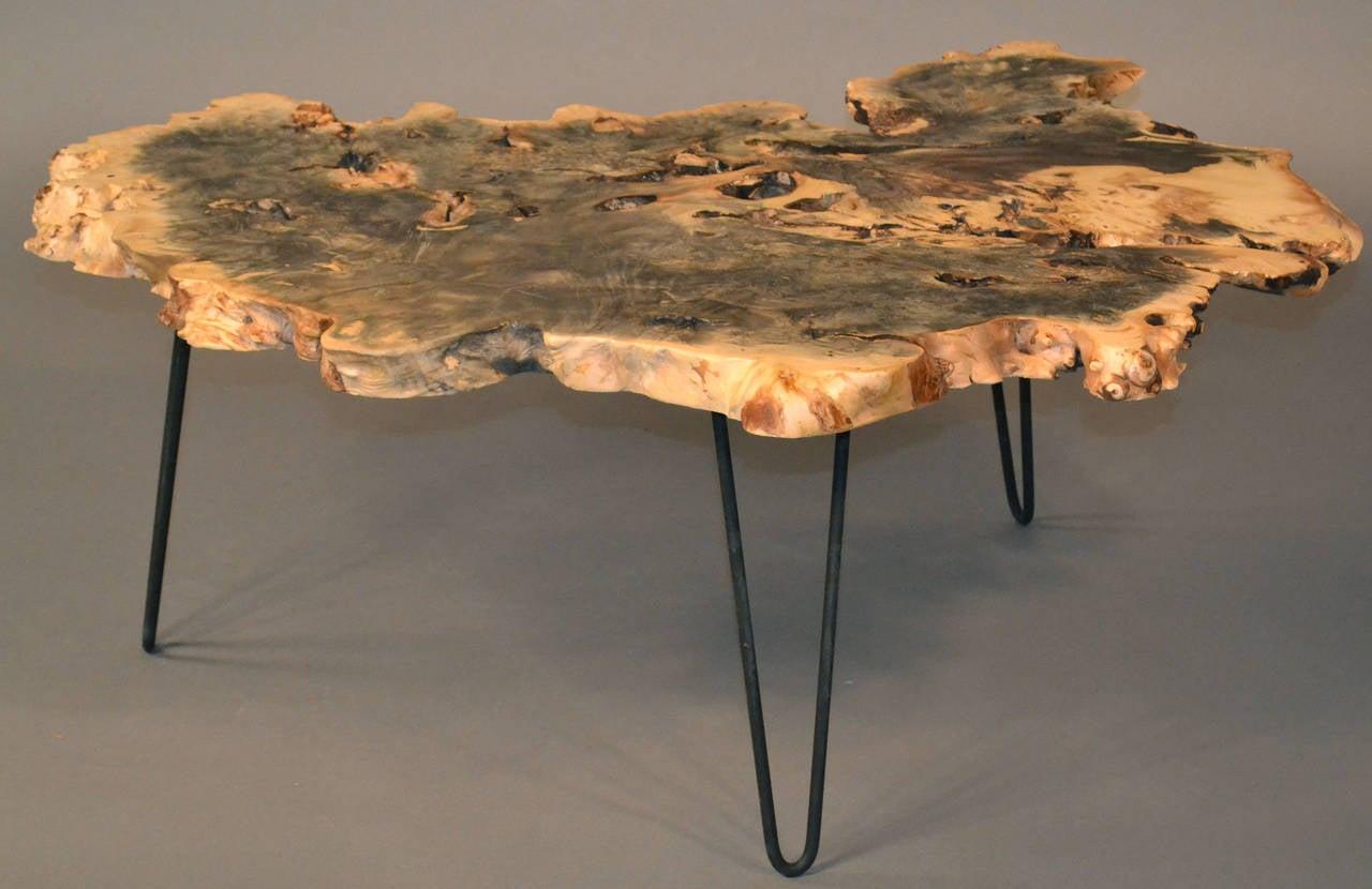 Buckeye Burl Wood Coffee Table With Hairpin Legs At 1stdibs