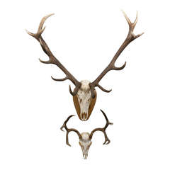 Large Elk Anter Mount on Plaque and White Tail Deer Mount