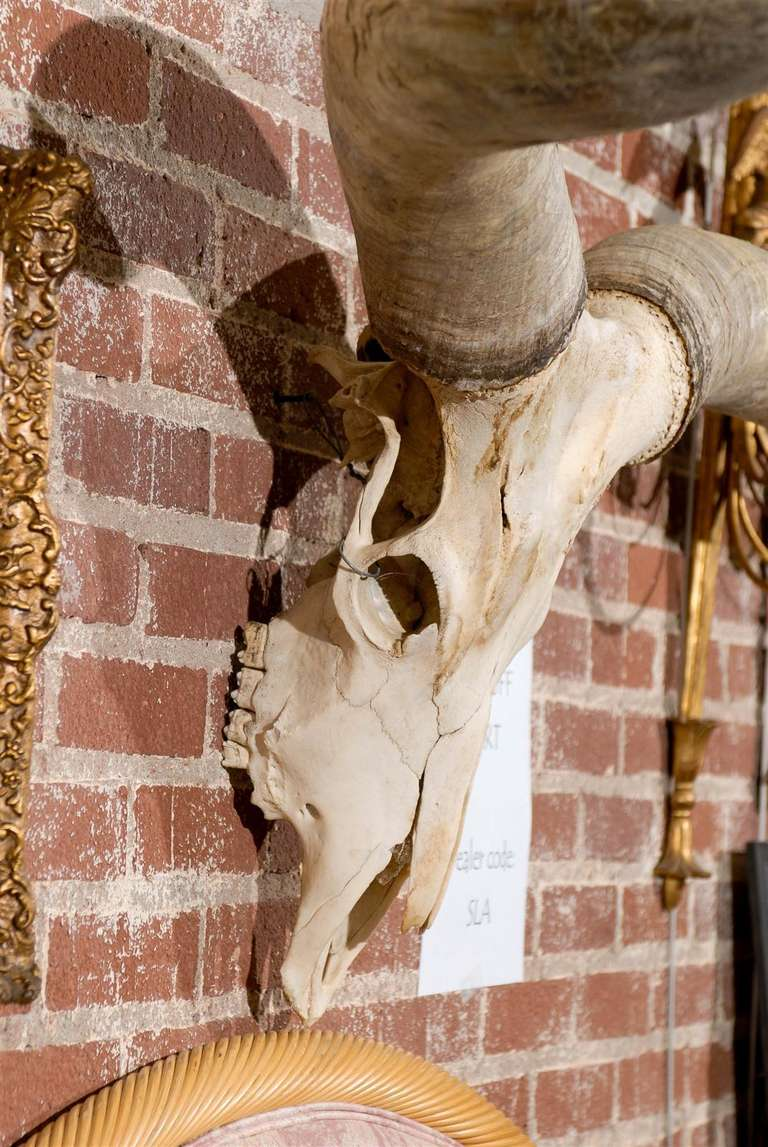 Large Watusi Skull And Horns With 51 Quot Spread At 1stdibs