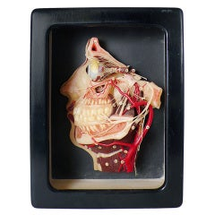 Rare German Anatomic Wax Model for Class Depicting a Human Head Dissection.