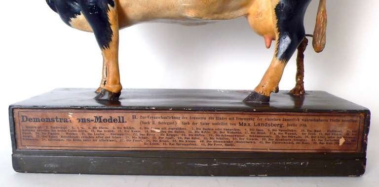 Rare German Anatomic Model of a Frisona Cow For Sale 5