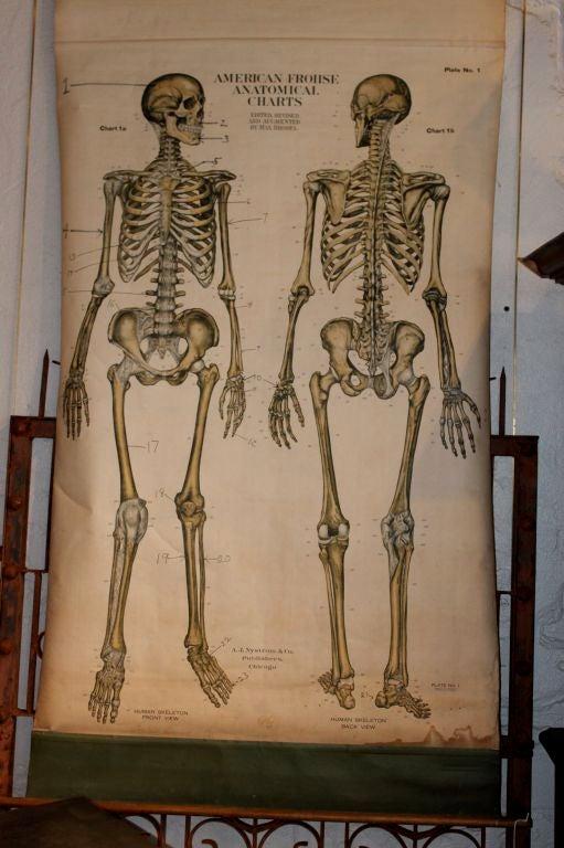 Anatomical Chart 2
