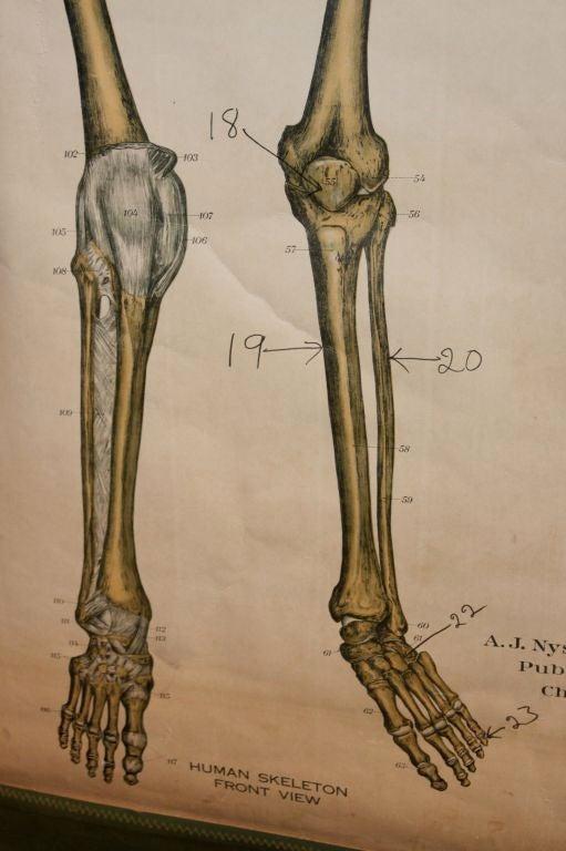 Anatomical Chart 7