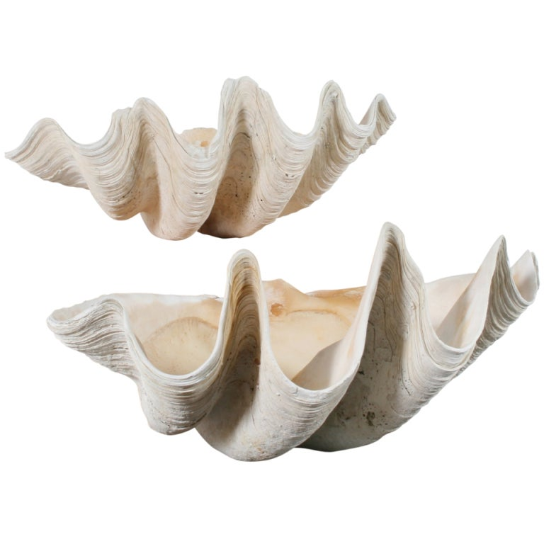 Pair Of Sculptural Giant Clam Shells At 1stdibs