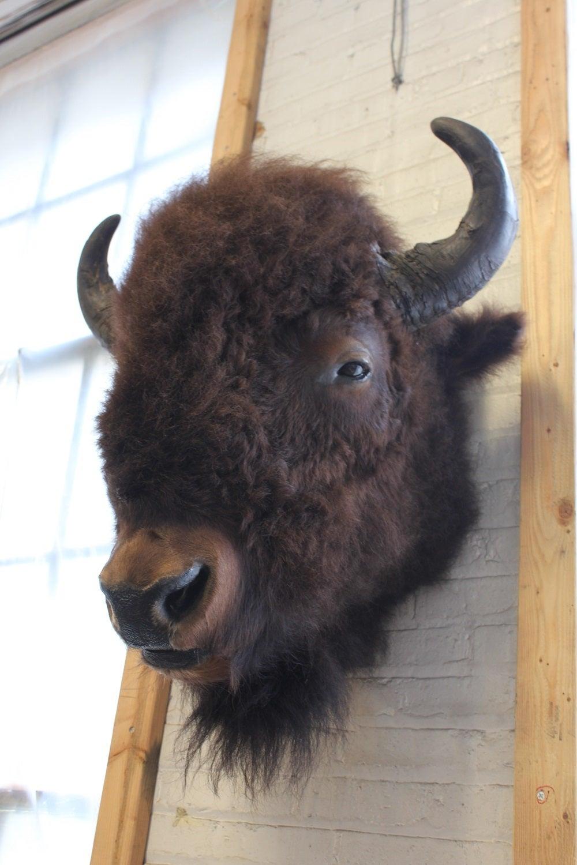 Large Vintage Buffalo Bizon Mount Taxidermy At 1stdibs