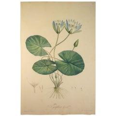 "Pierre-Jospeh Redoute, ""Nymphaea Caerula"" Original Engraving"