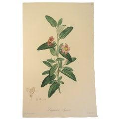 "Pierre-Joseph Redoute ""Lagunaea Squamea"" Stipple Engraving"