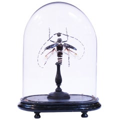 Dissected Insect Under Bell Glass