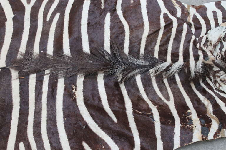 Vintage Plains Zebra Skin Rug With Certificate From South