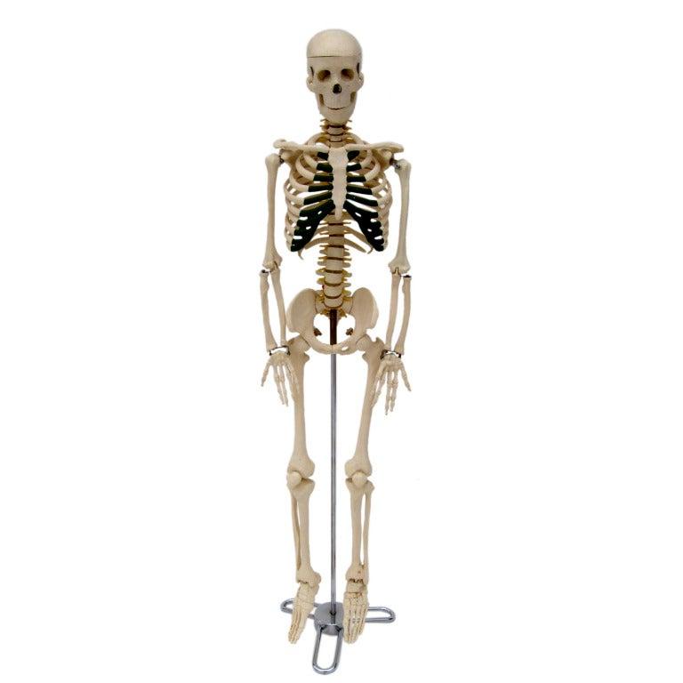 Real Human Skeleton Full Body | www.imgkid.com - The Image ...