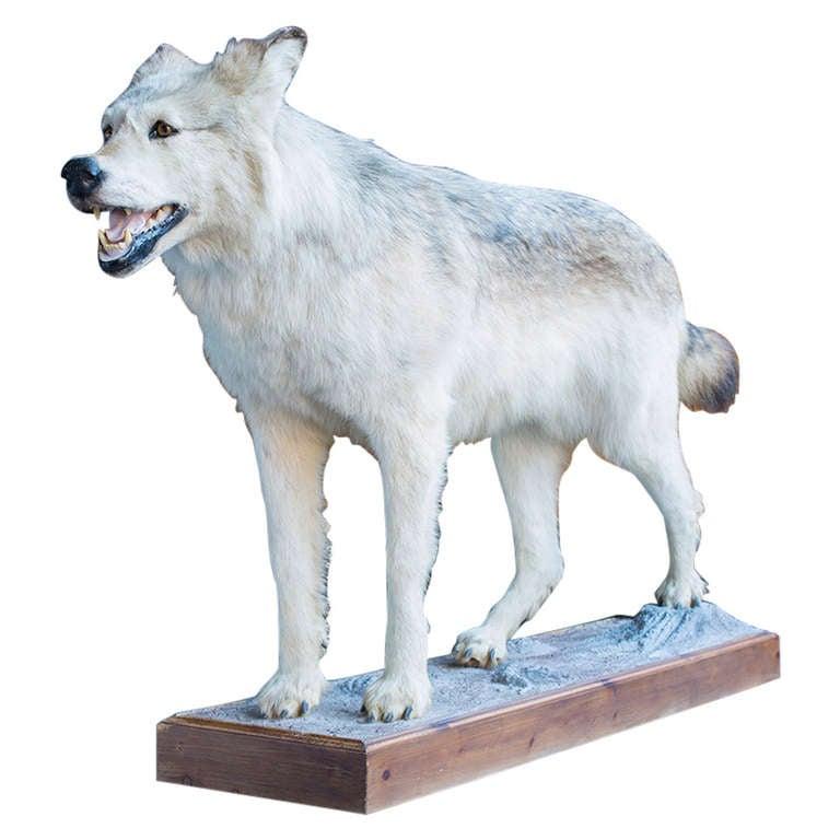 Alaskan Tundra Wolf For Sale