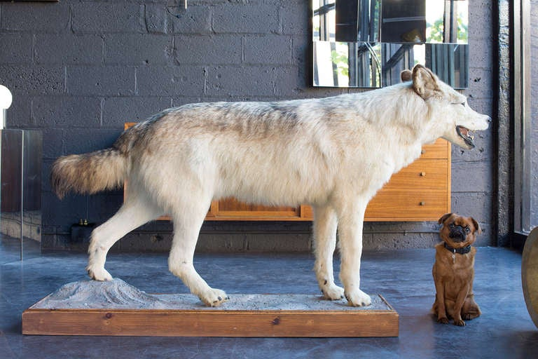 20th Century Alaskan Tundra Wolf For Sale