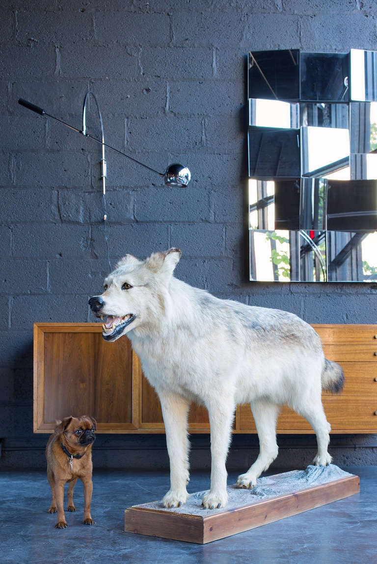 a big handsome full mount specimen  wolf alone without pedestal is 64